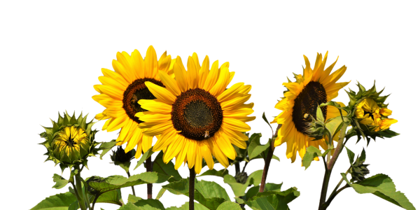 sunflower-2914972_1280